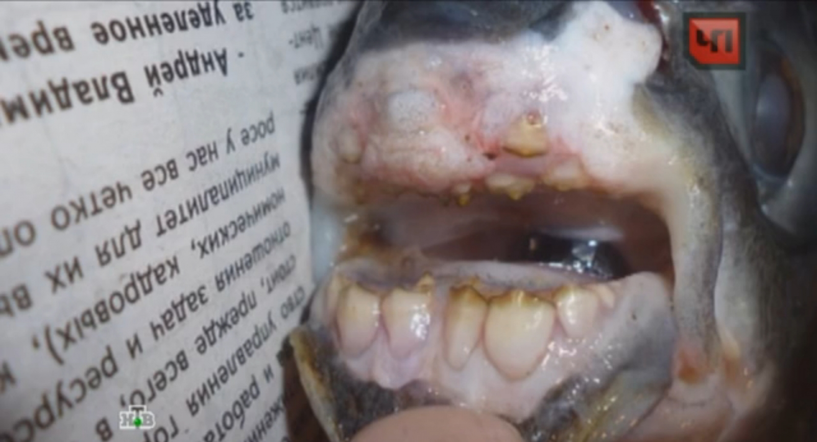 Monster-Like Fish With 'Human Teeth' Caught In Russian River