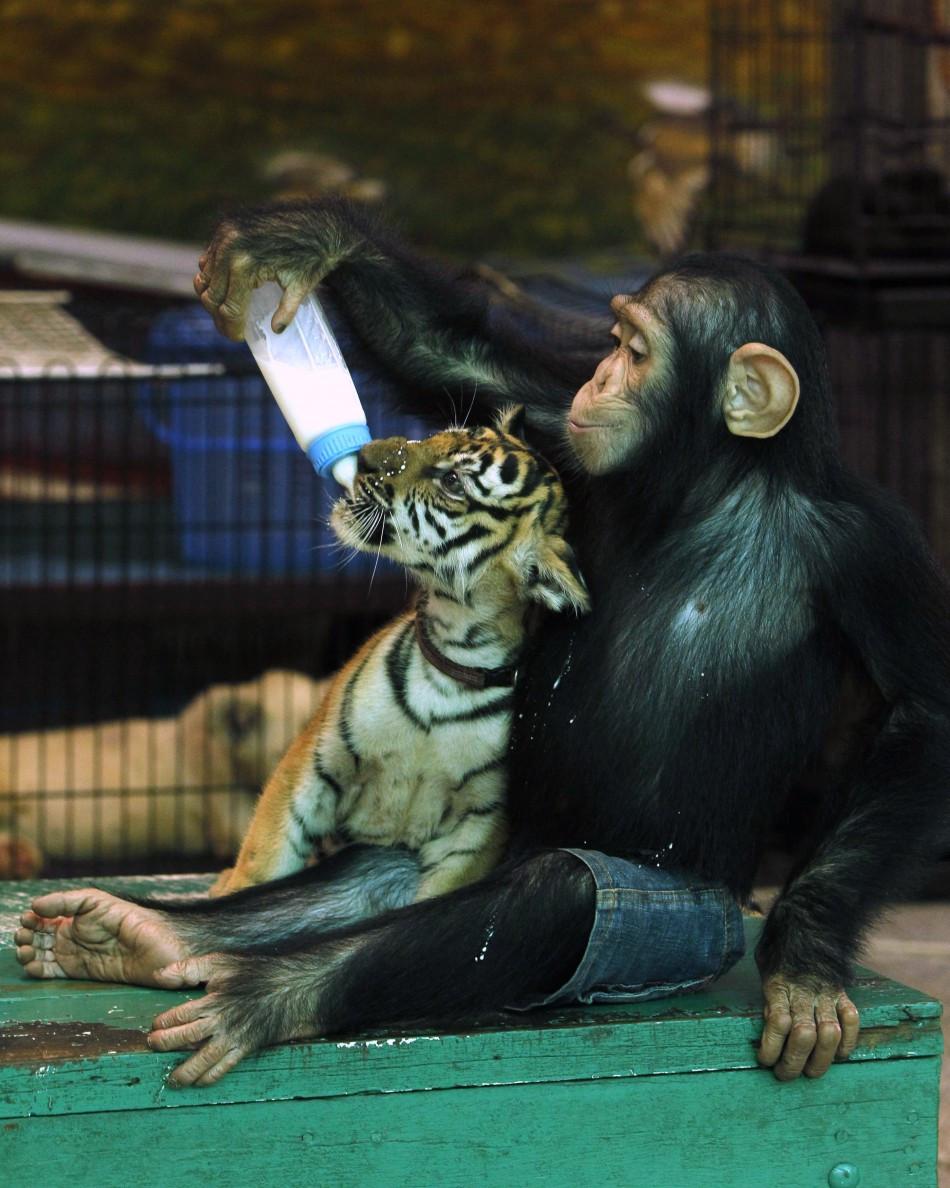 Photos: Chimpanzee Feeds Milk to Tiger Cub