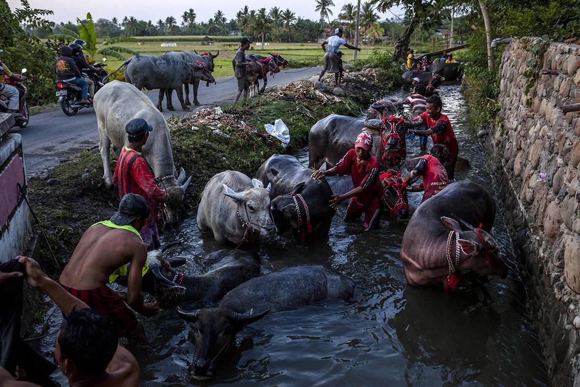 buffalo racing Indonesia