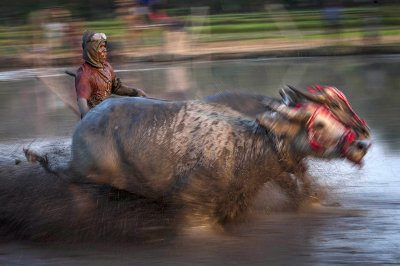 buffalo racing Indonesia