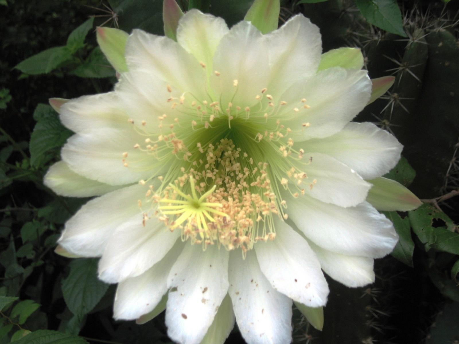 CACTI FLOWER