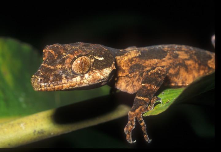 Cyrtodactylus serratus