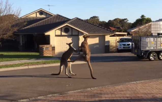 The end of cliche?: Two kangaroos scrap it out on a street in Australia in a video which went viral on the web