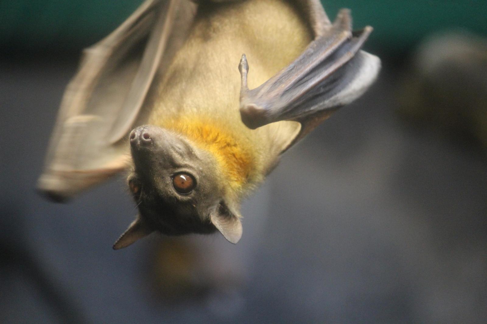 Straw-Coloured Fruit Bat