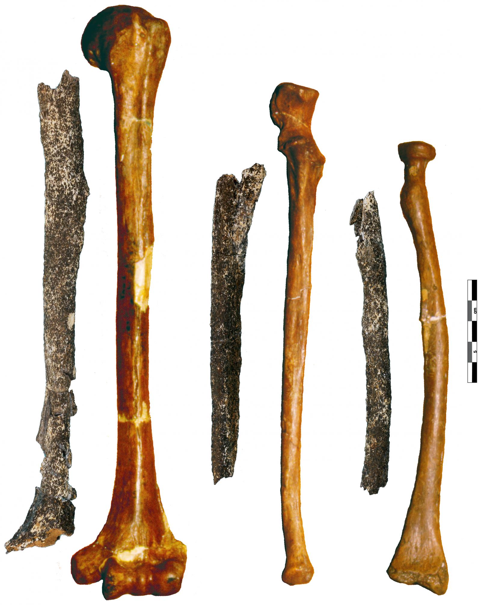 Pre-Neanderthal Arm Bones
