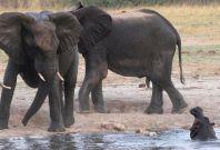 elephants hippo