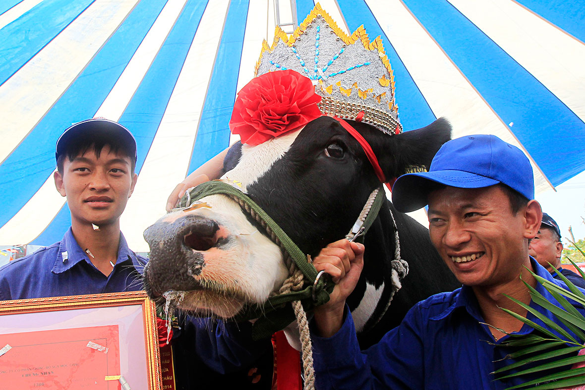 cow beauty contest