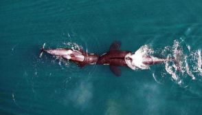 Killer whales display head butting and other playful gestures in the wild