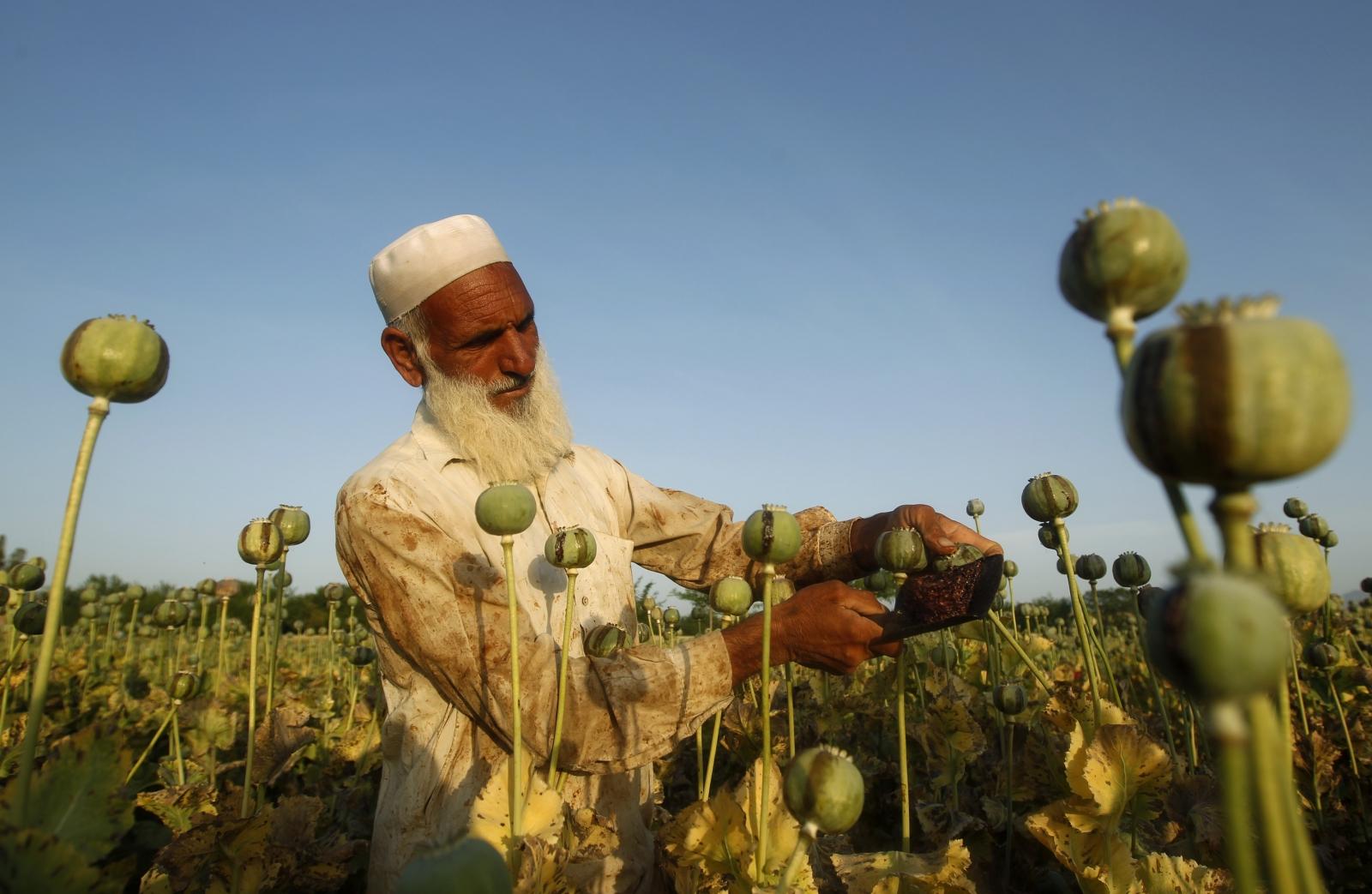 Afghanistan opium poppy field