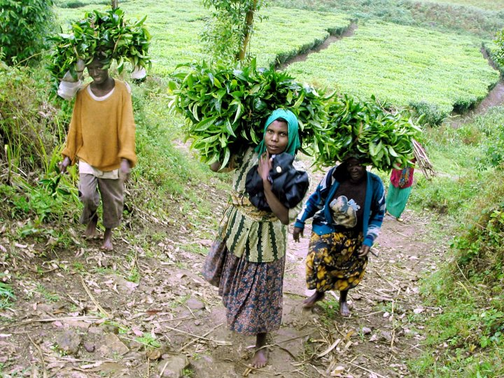 Rwandan tea pickers carry their load of leaves for weighing near the northern Rwandan town of Mulindi