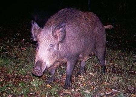 A wild boar in an image courtesy of the New York Invasive Species Council.