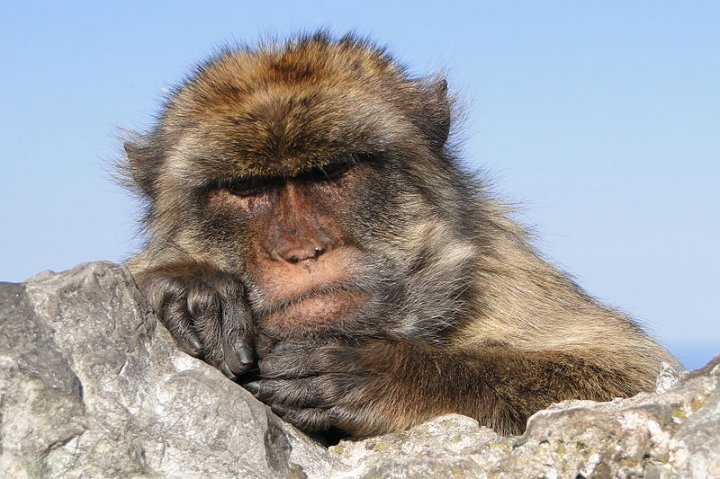 The Barbary macaque population in Gibraltar is the only wild monkey population in Europe