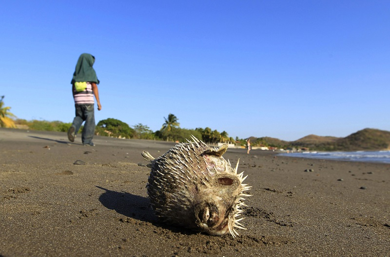 The pufferfish contains a toxin that is 1,200 times more lethal than cyanide