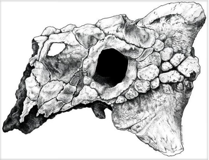 Zaraapelta Skull
