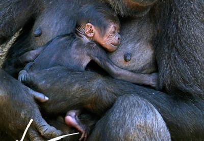 taronga zoo gorilla