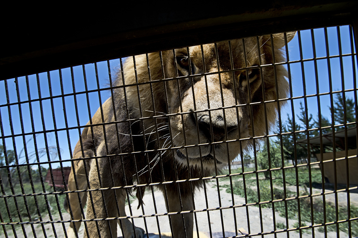 What Do Jaguars Eat >> Parque Safari: The Zoo in Chile Where Humans are in Cages ...