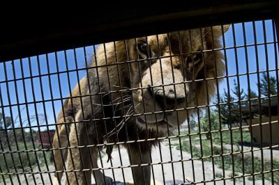 chile safari park lion