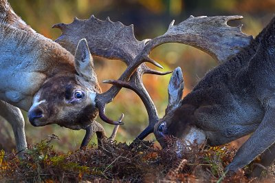 autumn deer rut