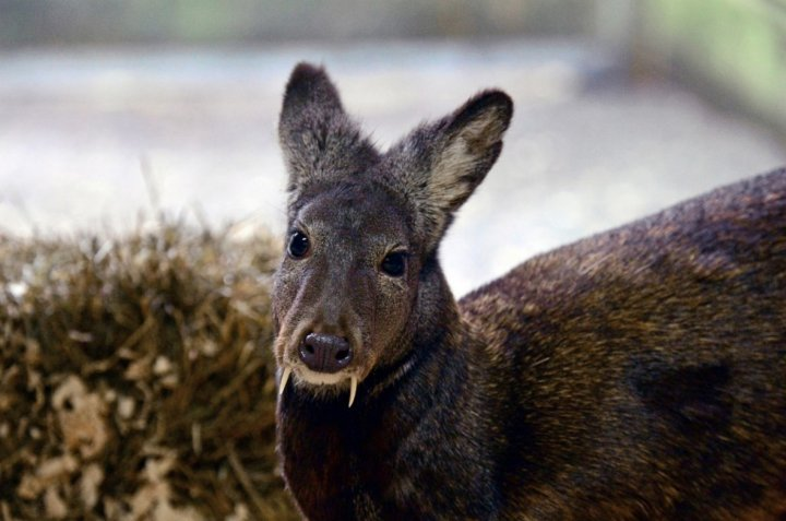 The rare Kashmir musk deer, spotted for the first time since 1948 (WCS)