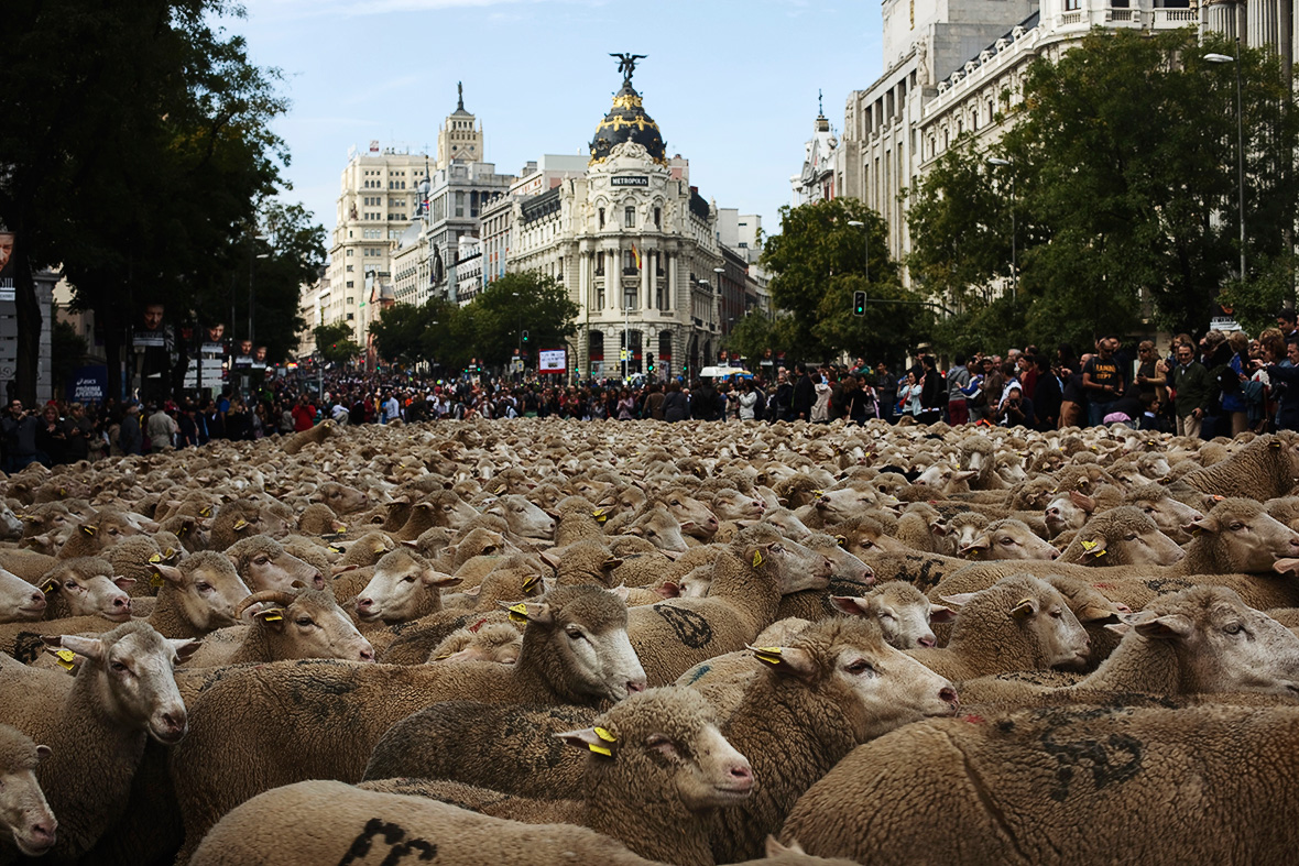 madrid sheep