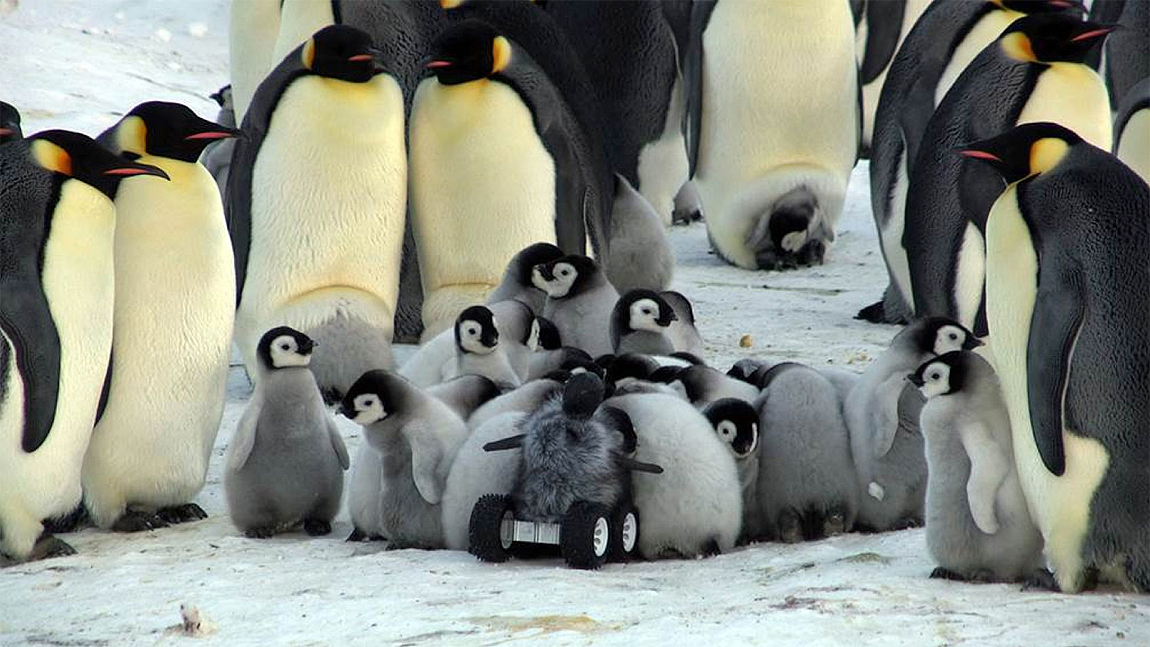 The robot baby penguin rover playing with other baby Adélie Emperor penguins in their colony