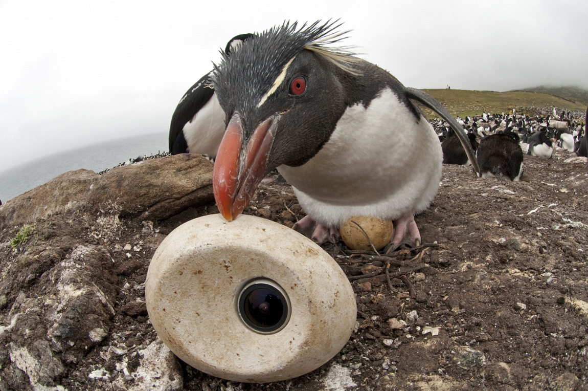 For the penguin documentary, the filmmakers used a camera hidden in an egg that could be laid by their adult Emperor penguin robot