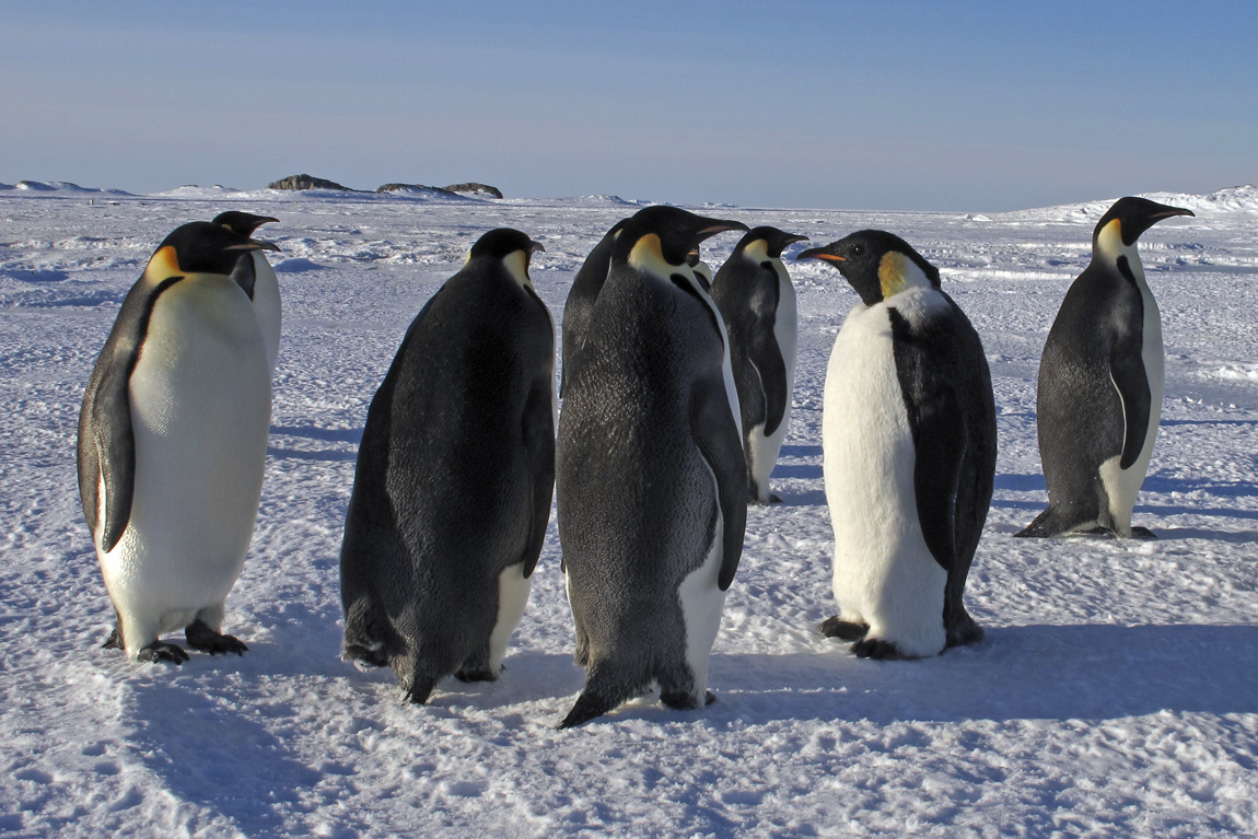 Spot the fake penguin: A disguised adult-sized Emperor penguin robot mingles with the colony. (Hint: the robot is second from the right)