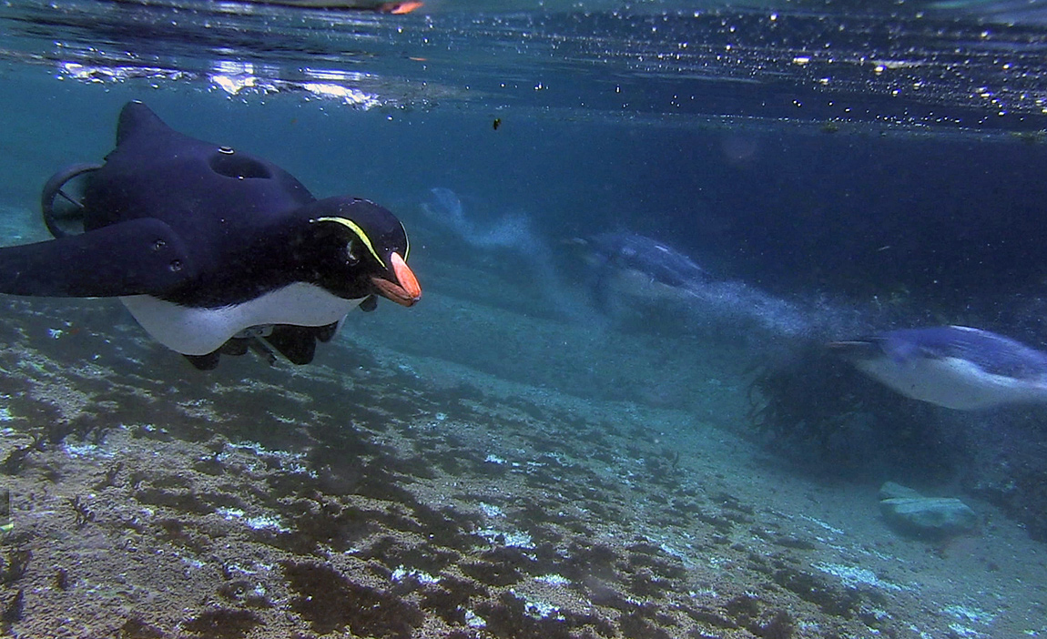A robot Humboldt penguin fitted with a camera and thrusters keeps up with the penguins underwater