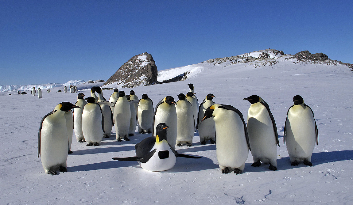 A tobogganing Emperor penguin robot that could skate over the ice was also used to collect data and footage