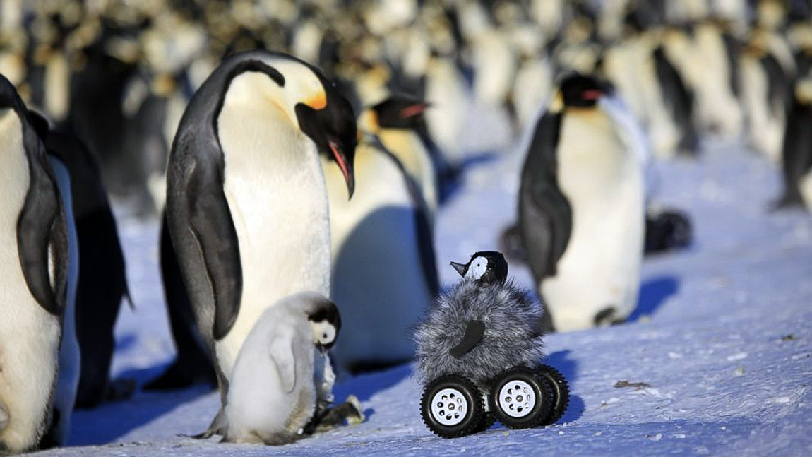 Cleverly Disguised Baby Penguin Robot Interacts With Emperor Penguin Colony