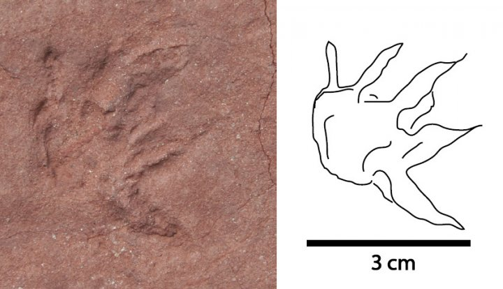 mystery mammal track