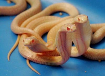 Sri Lankan Albino cobras