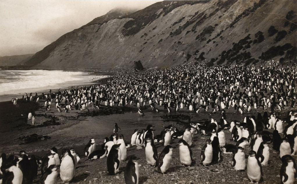 Frank Hurley, Royal Penguins on Nuggets Beach, Macquaire Island, 1911