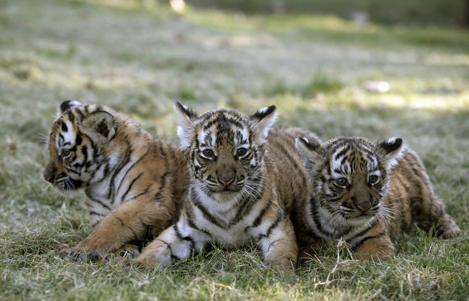 India Tiger Headcount Shows Almost 30 Rise In Numbers