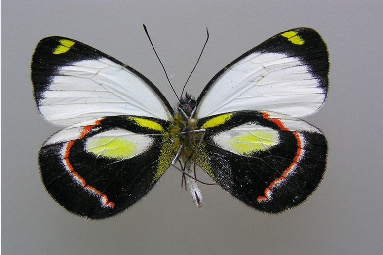 The Delias durai butterfly