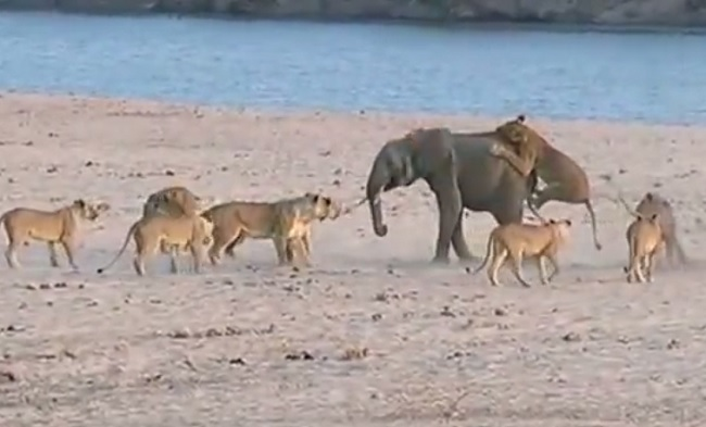 Elephant takes on 14 lions