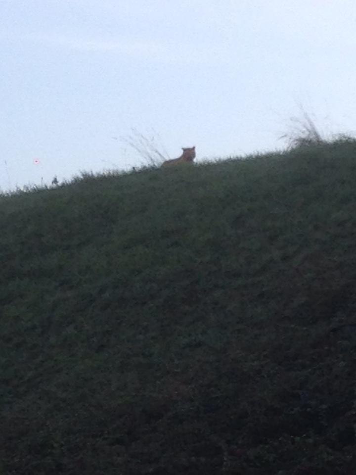 Paris Tiger On the Loose