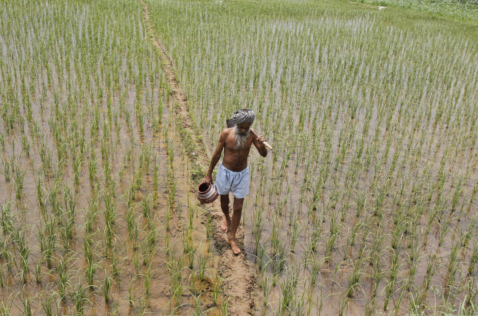 A farmer walks through a paddy field at Tannaurah village in the northern Indian state of Punjab