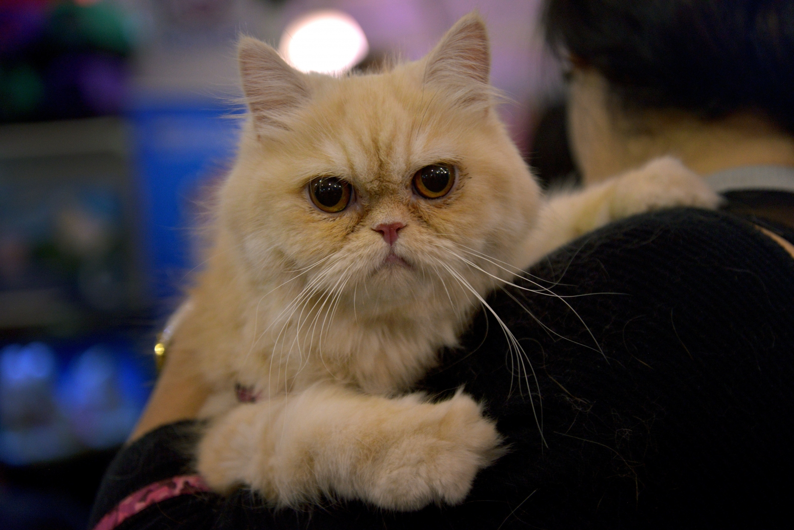 Cat being carried at pet fair in Bogota, Colombia