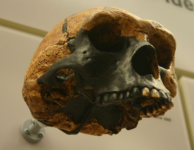 Skull of Peking Man from the  David H. Koch Hall of Human Origins at the Smithsonian Natural History Museum