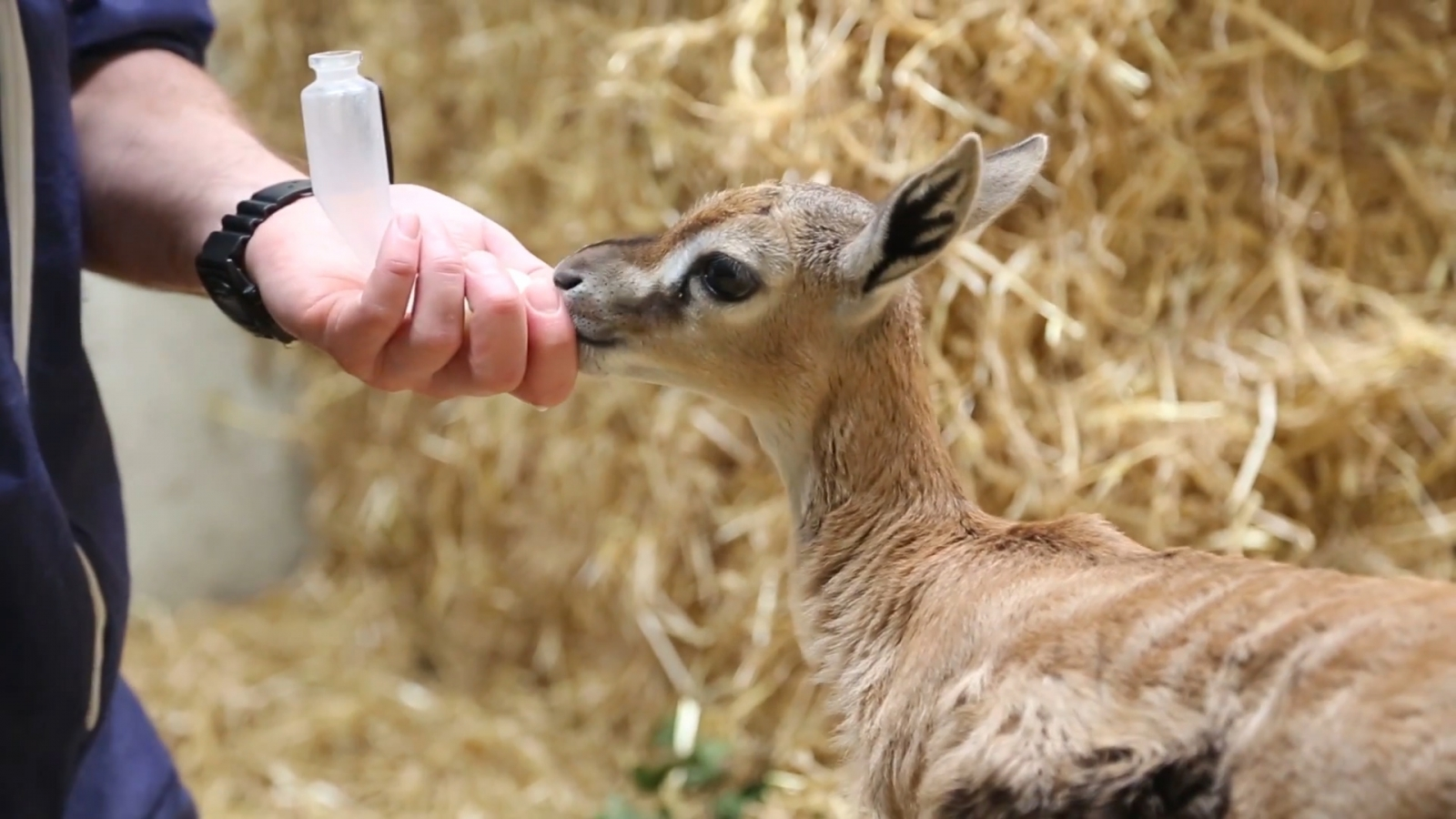 Abandoned Baby Gazelle Nursed Back to Health by Zookeepers