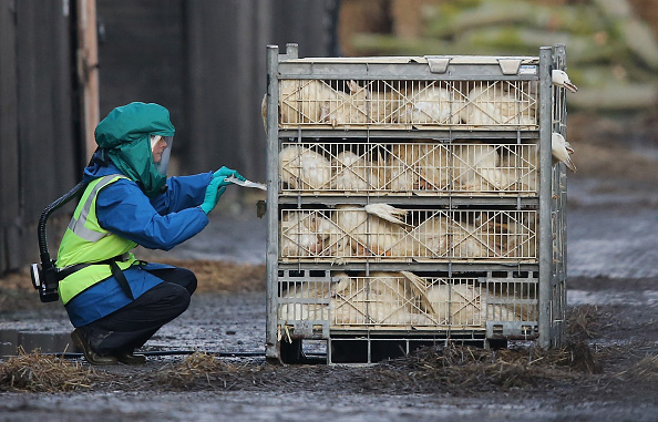 Bird Flu in UK