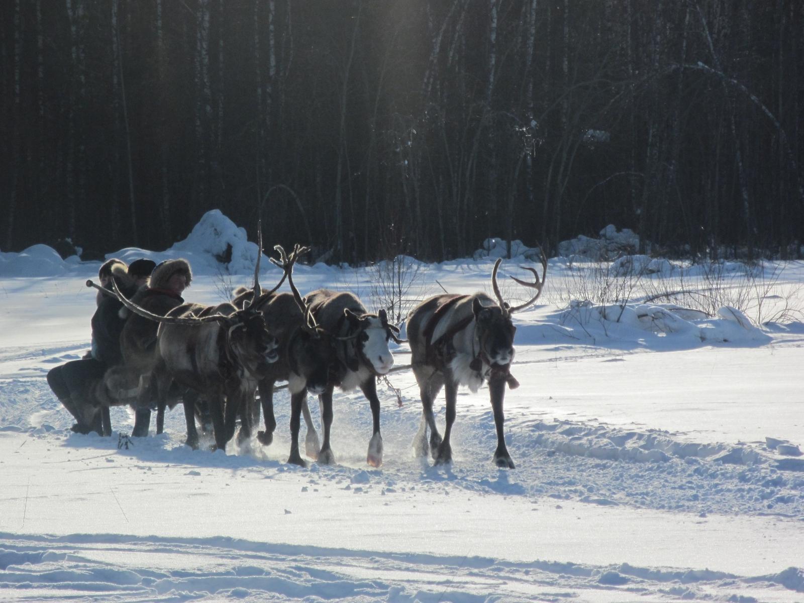 Reindeer in siberia police russia