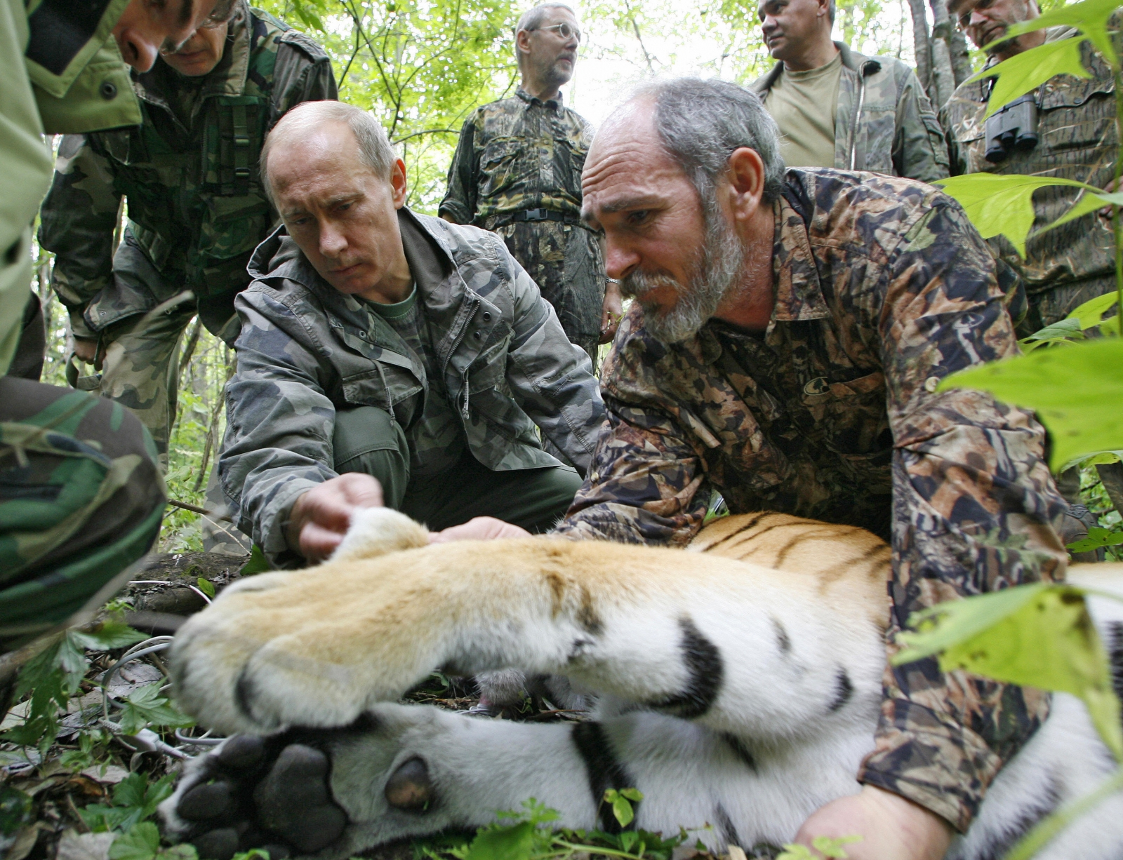 Russian Prime Minister Vladimir Putin (L), assisted by Russian scientist scientist Vyacheslav Razhanov, fixes a GPS-Argos satellite transmitter onto a tiger during his visit to the Ussuriysky forest reserve of the Russian Academy of Sciences in the Far Ea