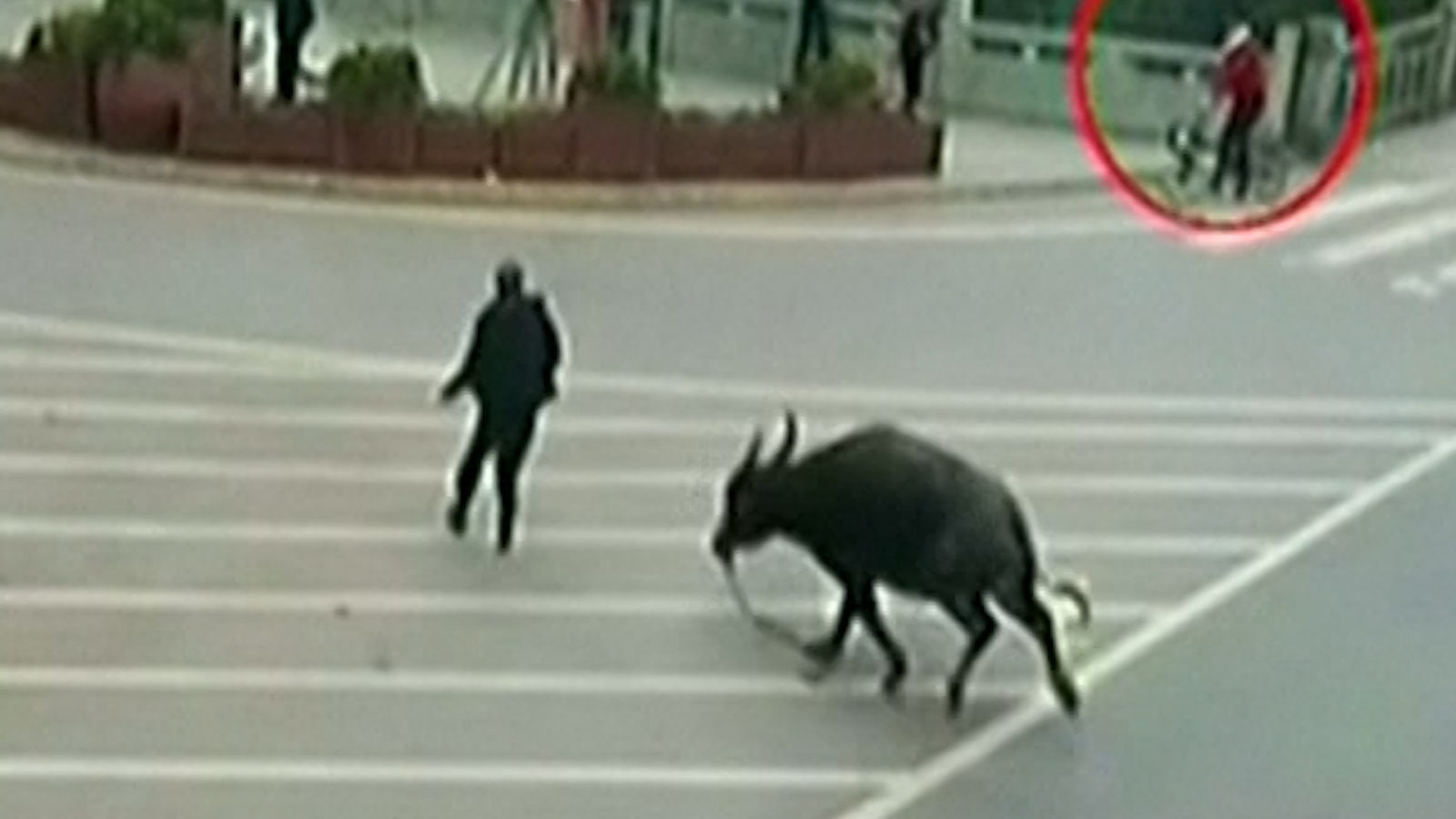 Water Buffalo Goes on the Rampage Through Chinese City