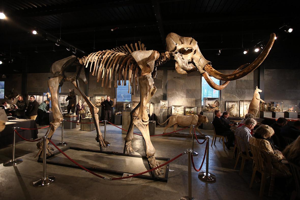 mammoth auction
