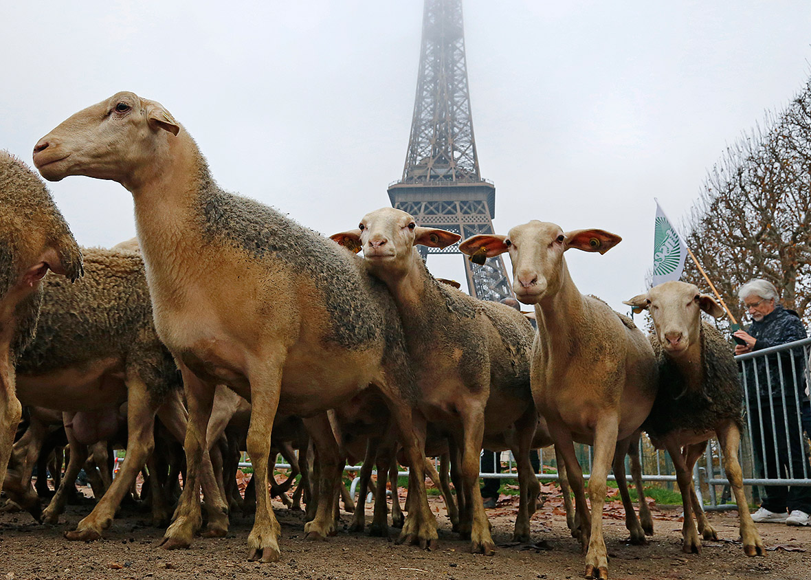 sheep paris