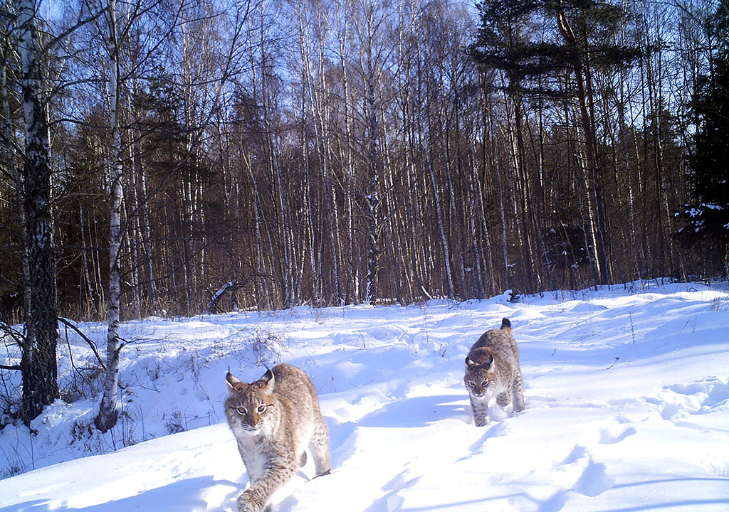 Chernobyl wildlife camera traps
