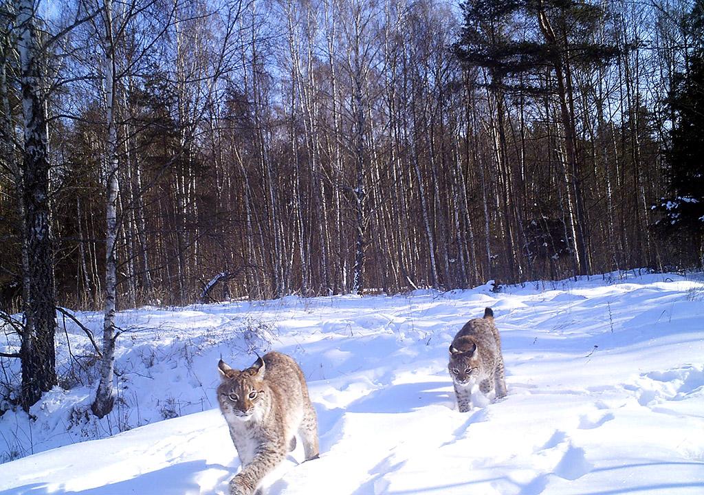 Chernobyl wildlife camera traps