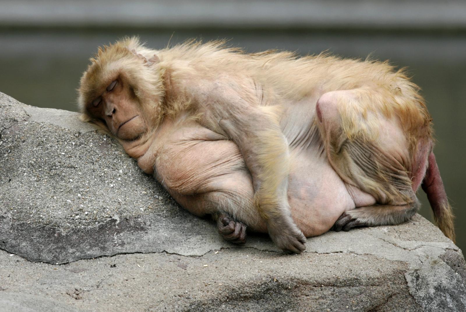 Fattest Monkey In The World Monkeys Trained To Dri...